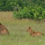 Lion-Tracking-Safari
